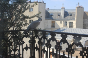 pigeon in balcony