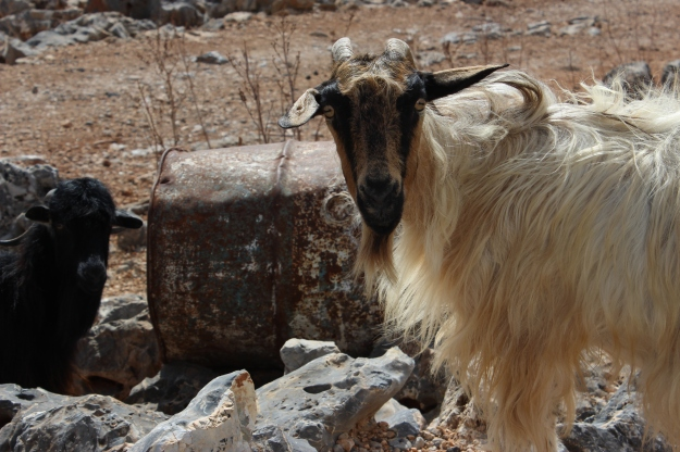 sheep stealing from Preveli Monastery