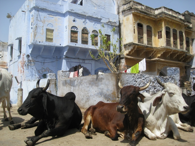 holy cows in Pushkar