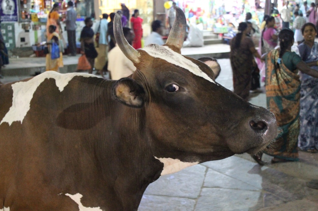 holy cow of Madurai