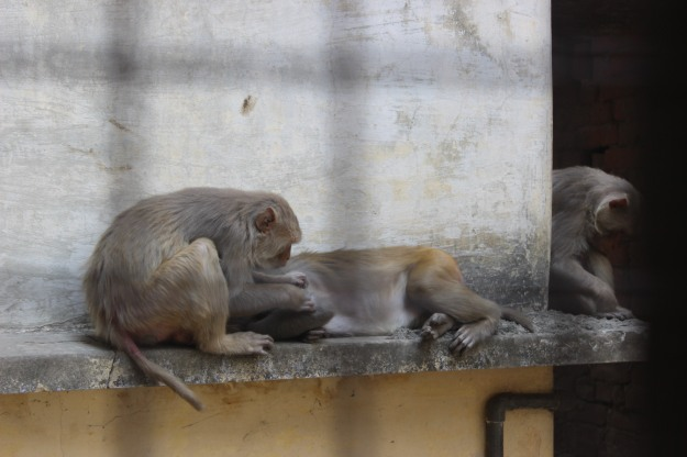 Monkeys in Varanasi