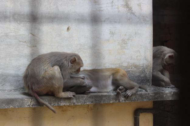 Monkeys in Varanasi