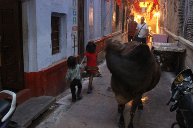 Cows in Varanasi
